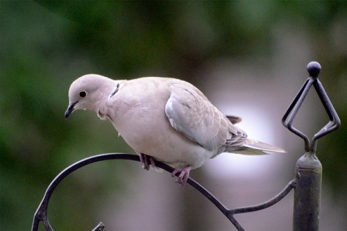 collared dove on pole