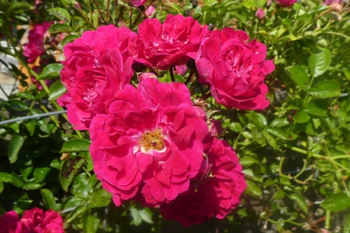 commin riding rose