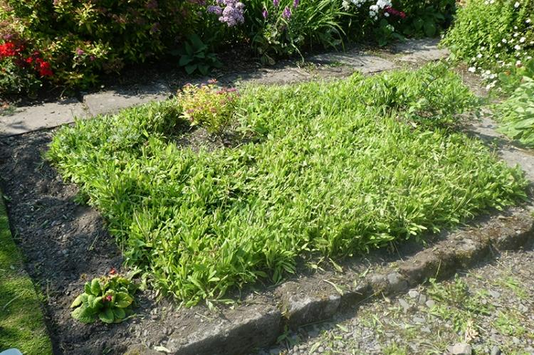 cut orange hawkweed