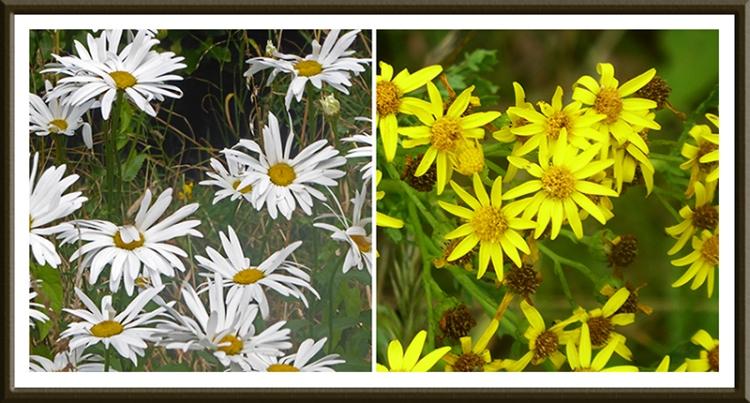 daisy and ragwort