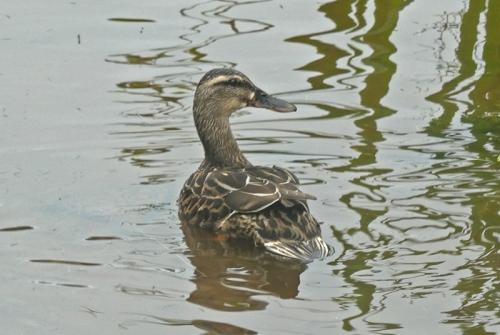 duck on dam