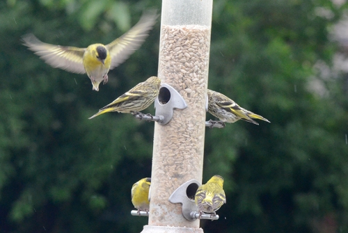 five siskins
