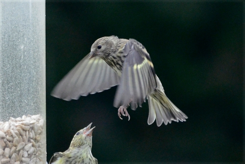 flying siskin blown up