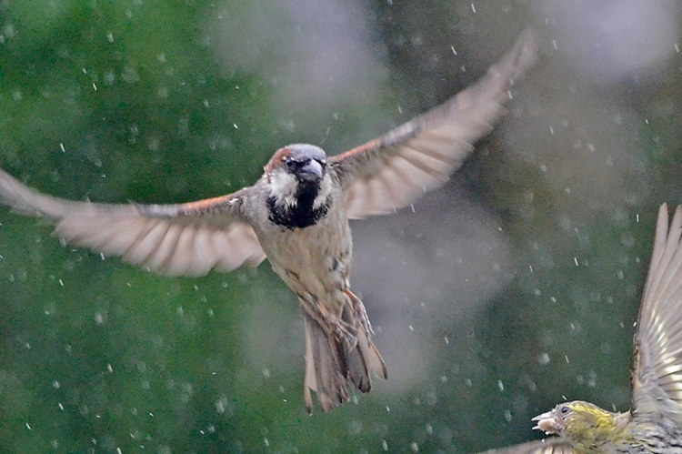 flying sparrow in rain