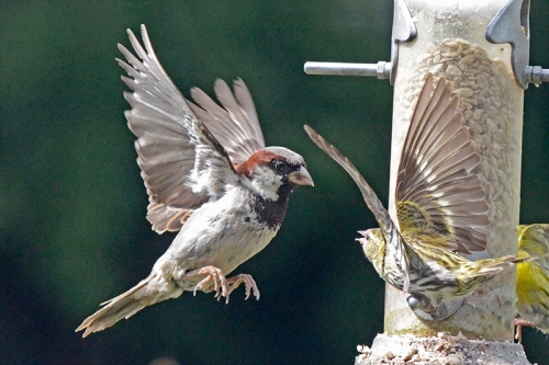 flying sparrow (with siskin)