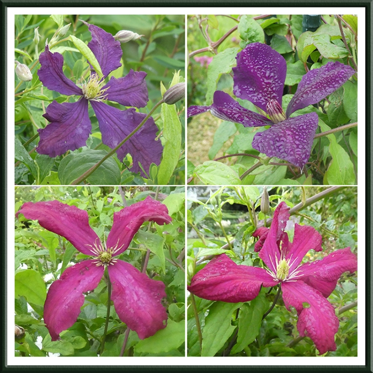 four clematis