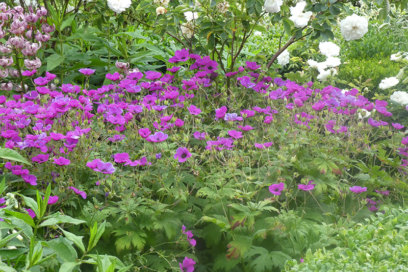 geranium clump