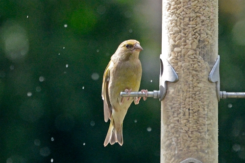 glum greenfinch