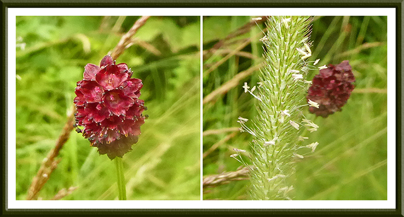 great burnet and grass