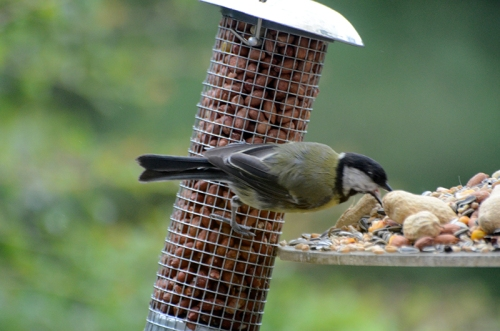great tit sue