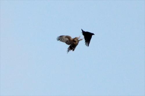 harrier attacking raven