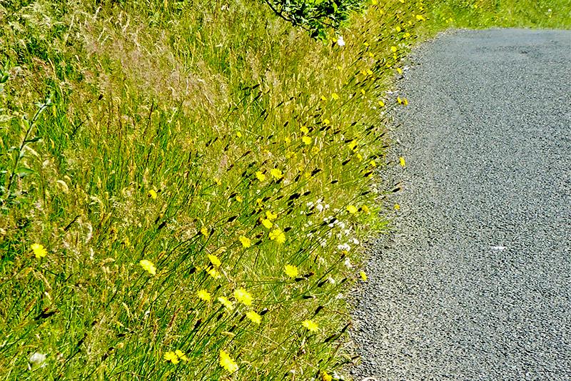 hawkweed beside road