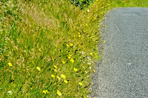hawkweed beside road