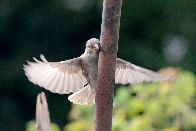 headbanger sparrow
