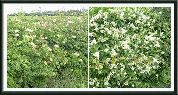 honeysuckle and privet in hedge