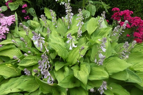 hosta with flowers