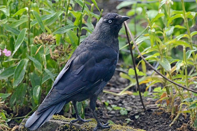 jackdaw under feeder