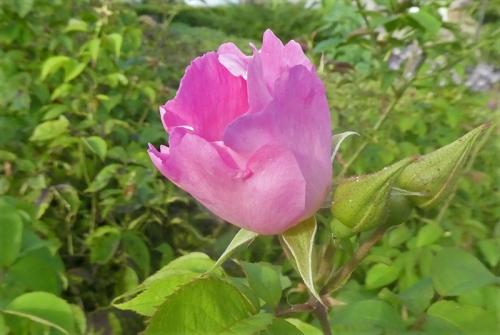 last rosa complicata