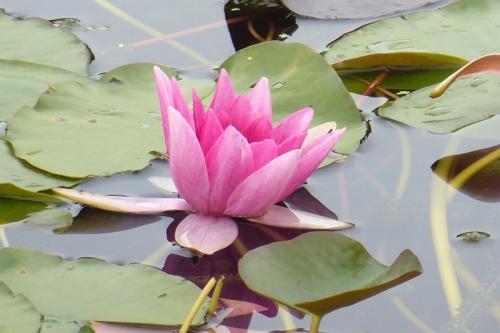 lily at Samye Ling