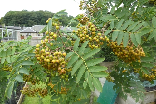 lots of yellow rowan berries