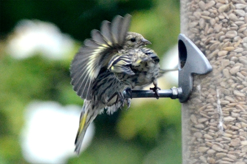 mixed siskins