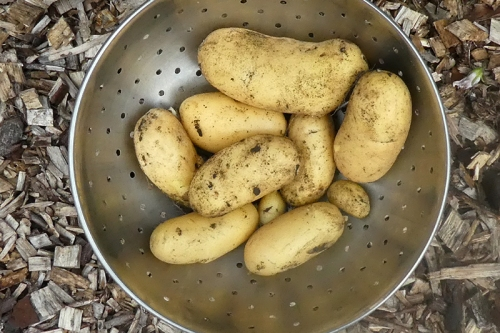 new potatoes 2019