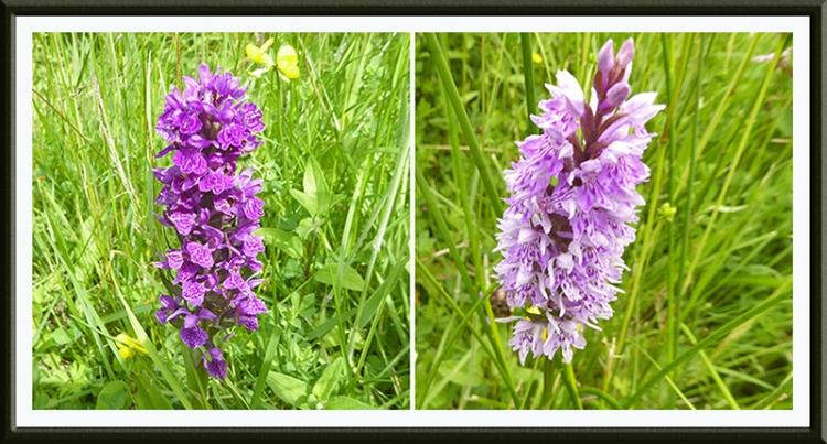 orchids at Auchenrivock diversion