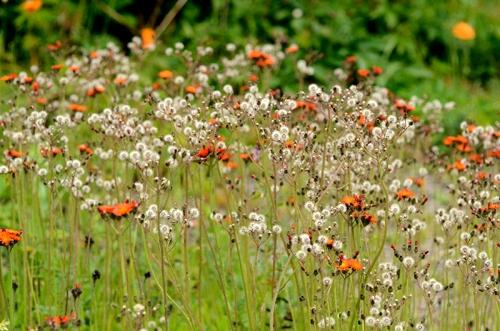 ornge hawkweed seed