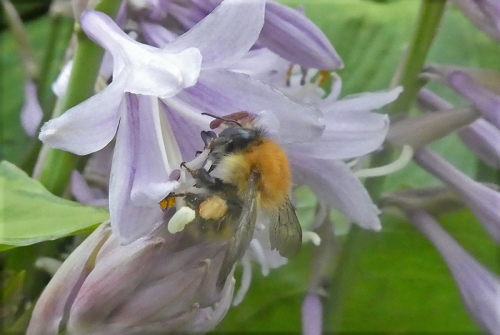 bee on hosta