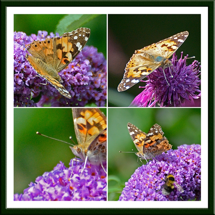 painted lady butterfly panel