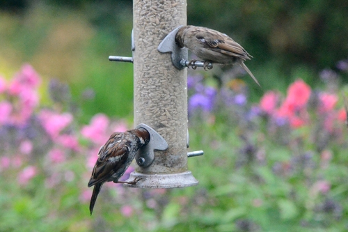 pair of soggy sparrows