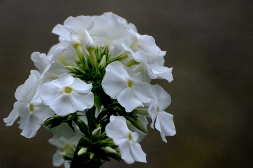 phlox through window