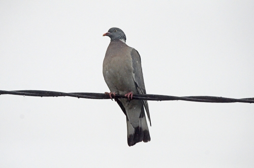 pigeon on electricity cable