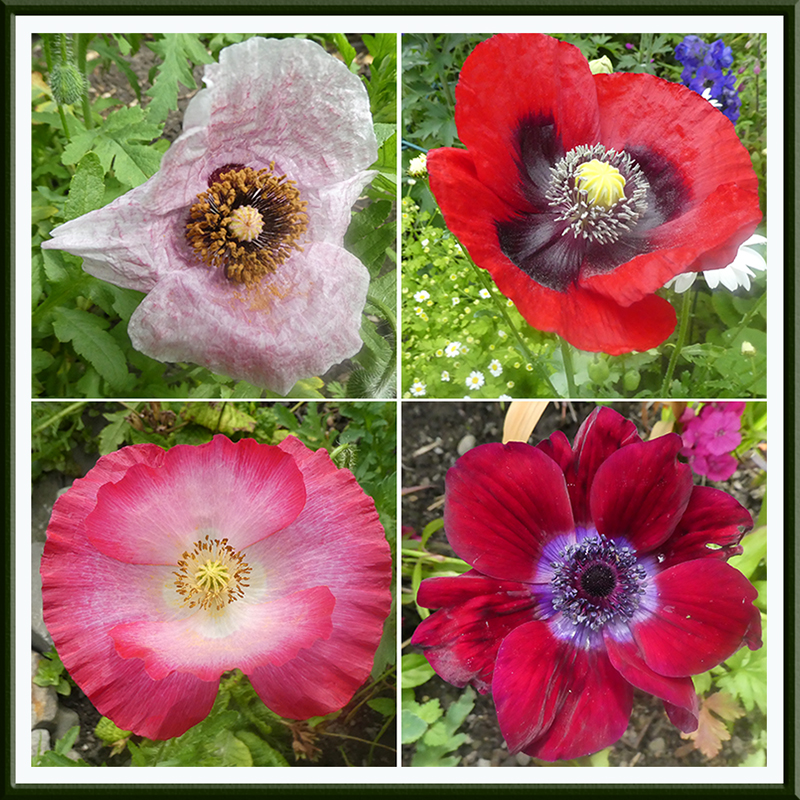 poppies and anemone
