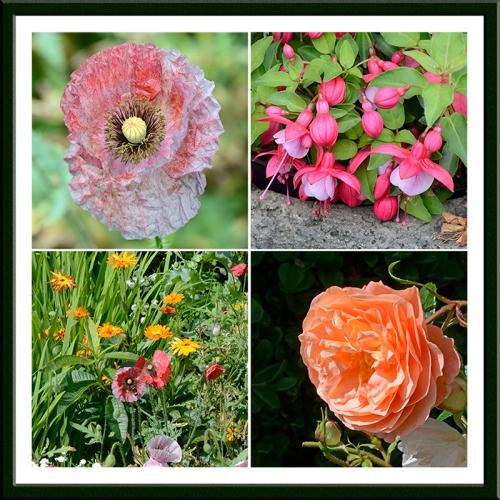 poppy, fuchsia, rose, calendulas