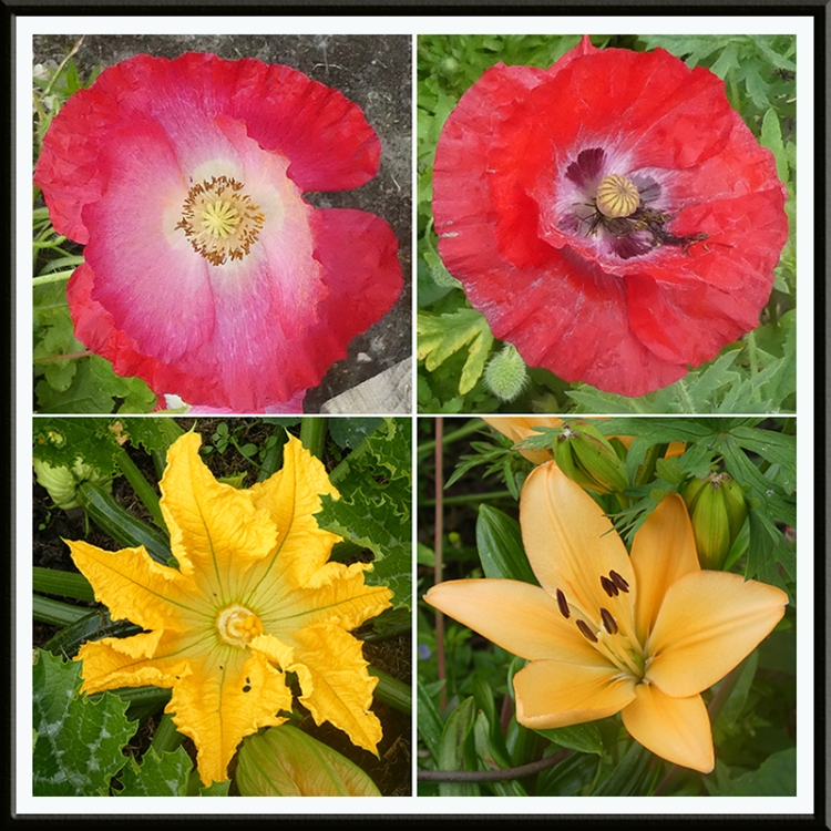poppy, lily, courgette