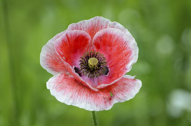 poppy of the day