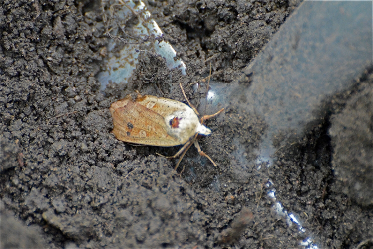 potato moth