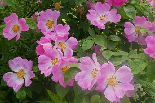 pretty rosa complicata