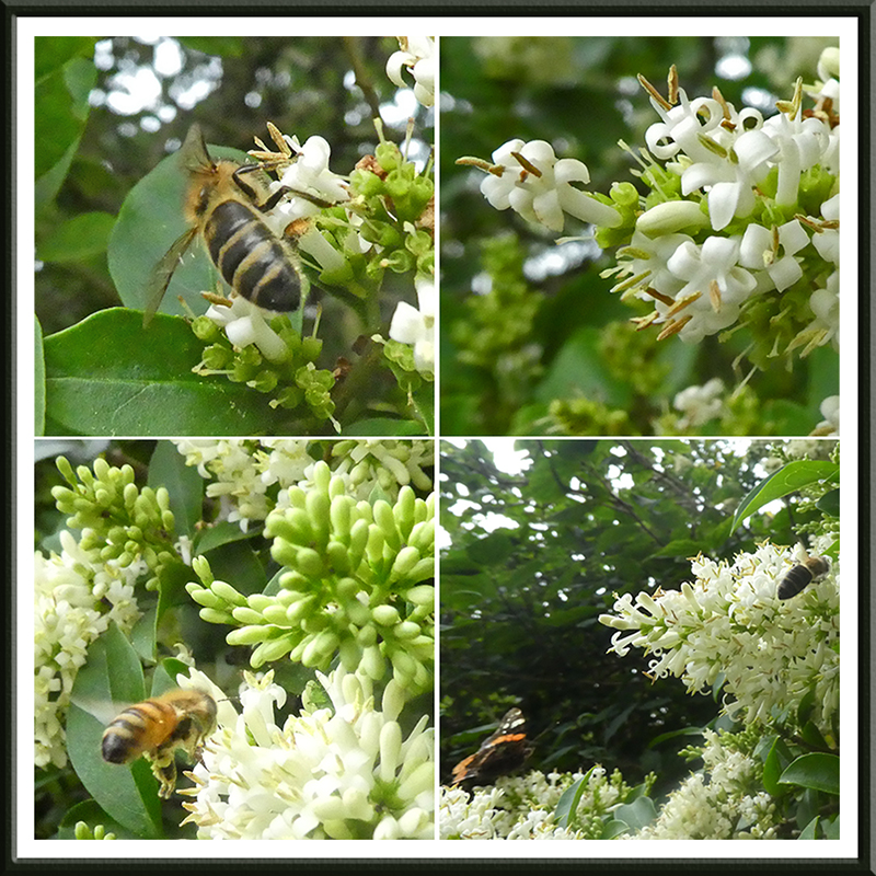 privet with bees