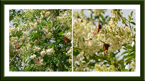 privet with butterflies