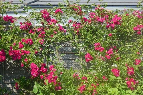 rambler rose on fance