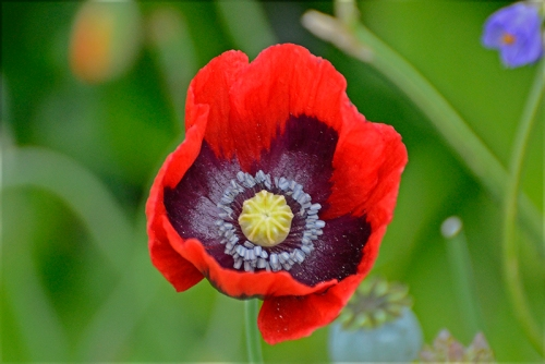 red poppy grey insides