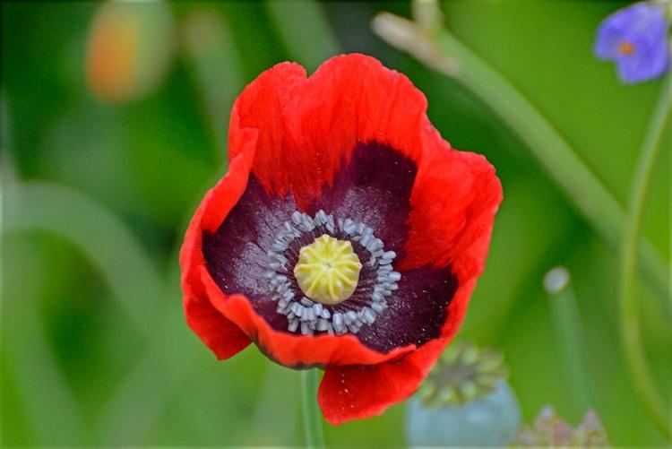red poppy grey insides