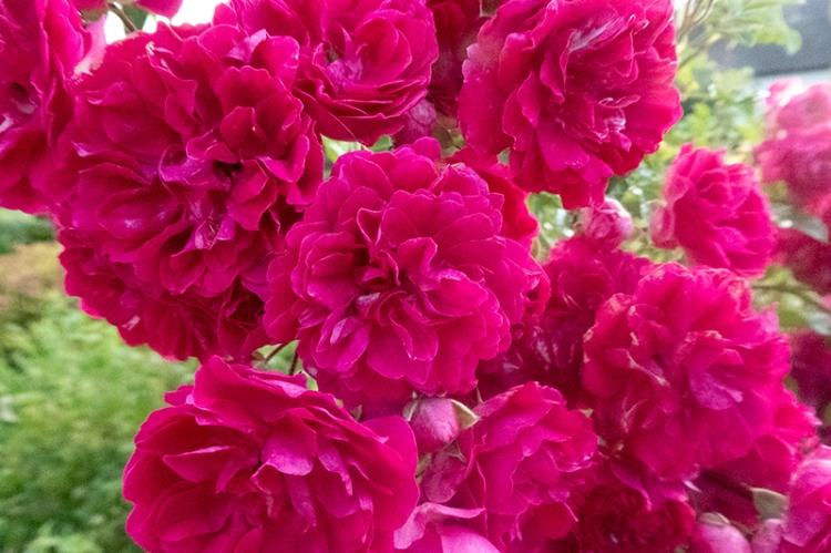 red rambler roses