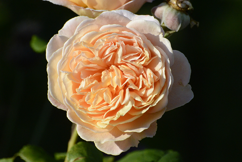 rose in sunshine
