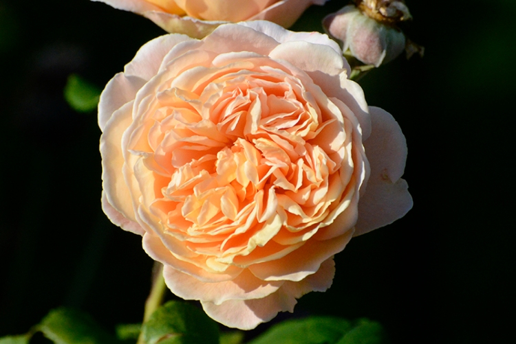 rose in sunshine