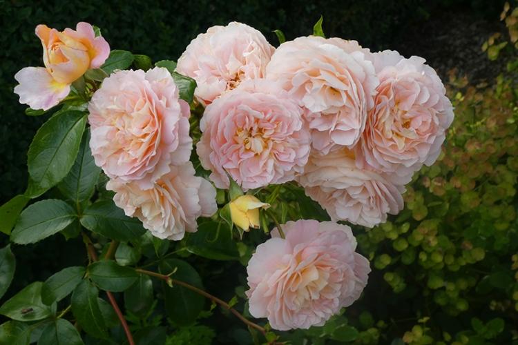 rose Wren full