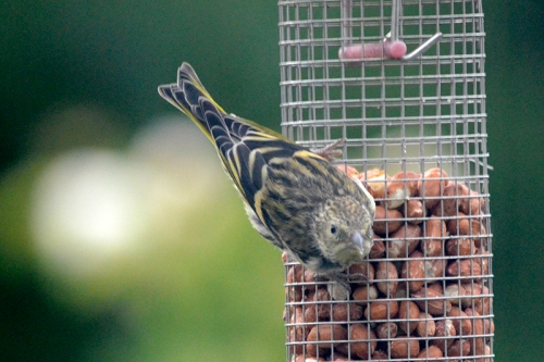 siskin on nuts