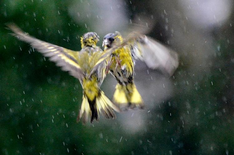 siskins beak to beak rain